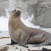 Sea Lion Monterey Poster