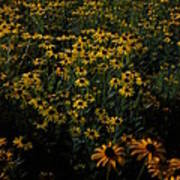 Sea Of Black-eyed Susans Poster