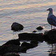 Seagull At Dusk Poster