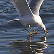 Seagull On Water Poster