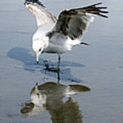 Seagull Reflection Poster