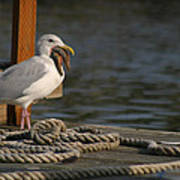 Seagull Swallows Starfish Poster
