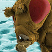 Sem Of A Mutant Fruit Fly Poster