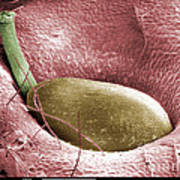 Sem Of A Strawberry Seed Poster