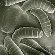 Sem Of Maggots Of The Green Blow Fly Poster