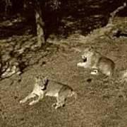 Sepia Lionesses Poster