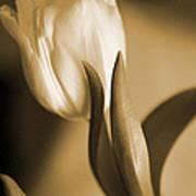 Sepia Tulip 2 Poster