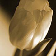 Sepia Tulip Poster