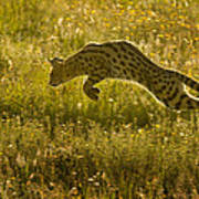 Serval Cat Pouncing Serengeti Poster
