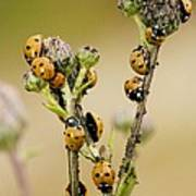 Seven-spot Ladybirds Eating Aphids Poster