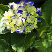 Shadowy Purple And White Emerging Hydrangea Poster