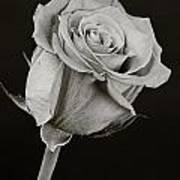 Sharp Rose Black And White Poster