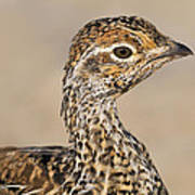 Sharp-tailed Grouse Poster