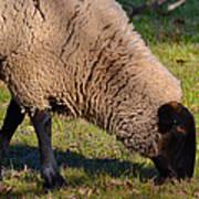 Sheep 3 Poster