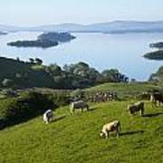 Sheep Grazing By Lough Corrib Cong Poster