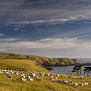Sheep Grazing In Headland Poster