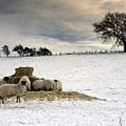 Sheep In Field Of Snow, Northumberland Poster by John Short