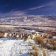Sheep In Snow, Glenshane, Co Derry Poster