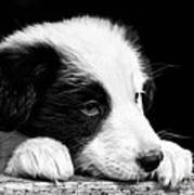 Sheepdog Puppy Looking Out Poster by Rory Trappe