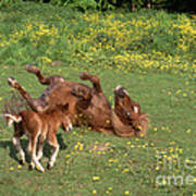 Shetland Pony And Foal Playing Poster