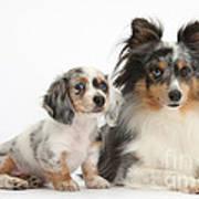 Shetland Sheepdog And Dachshund Puppy Poster
