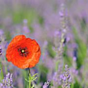 Shirley Poppy In English Lavender Field, Valensole, Valensole Plateau, Alpes-de-haute-provence, Provence-alpes-cote D Azur, Provence, France Poster