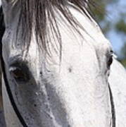 Show Horse At Mule Days Poster