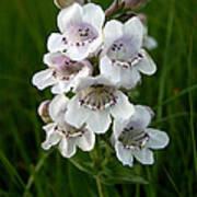 Showy Beardtongue Flower Poster