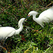 Showy Snowy Egrets Poster