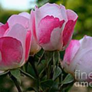 Shrub Roses Poster