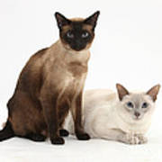 Siamese Cats Poster