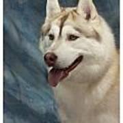 Siberian Husky 954 Poster