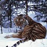 Siberian Tiger Lying On Mound Of Snow Poster