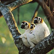 Sifaka Propithecus Sp Family Resting Poster