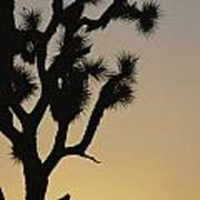 Silhouetted Joshua Tree In Antelope Poster