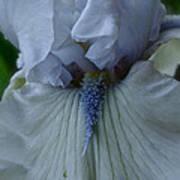 Silky Iris Poster