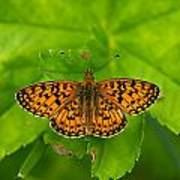 Silver-bordered Fritillary Poster