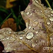 Silver Maple Rain Poster