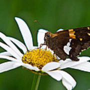 Silver Spotted Skipper 2 Poster