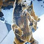 Silvertip Grizzly Bear Poster