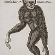 Simia Lar, Great Gibbon. Engraved By Poster by Ken Welsh