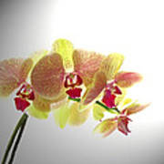 Simplified Orchids II Poster