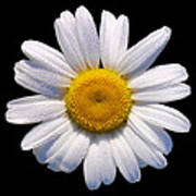 Simply A Daisy Poster