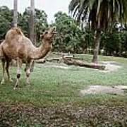 Singing Camel Poster