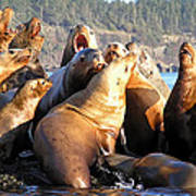 Singing Sea Lions Poster