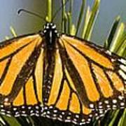 Single Monarch Butterfly Poster
