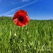 Single Poppy Flower  In A Field Of Wheat Poster