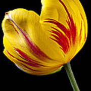 Single Yellow And Red Tulip Poster