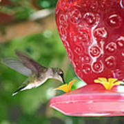Hummingbird Sipping Poster