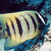 Six-banded Angelfish Poster